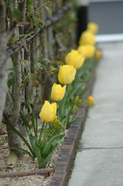tulip409-5.jpg