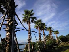 豊島⑦棕櫚