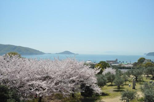 オリーブ公園の桜