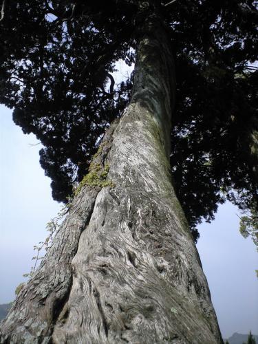 中山の巨木