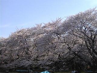 08'小金井公園お花見3.jpg