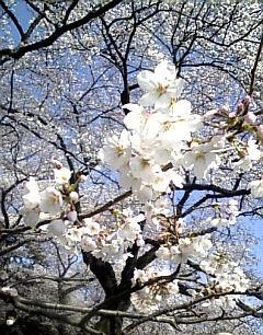 08'小金井公園お花見4.jpg