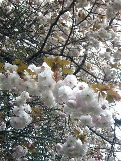 ふわふわ桜