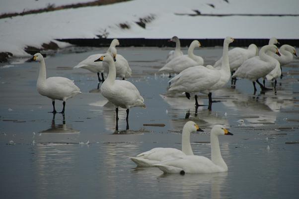 DSC_0565小白鳥