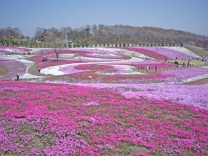 090411芝桜1