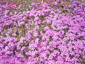 090411芝桜2