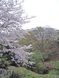 090412桜2