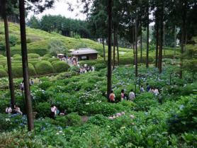 紫陽花庭園
