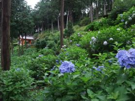 紫陽花庭園2