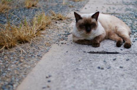 ニャジラ(野良猫)