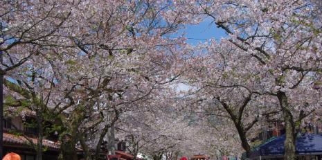 がいせん桜4