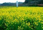 a菜の花畑IMG_0028