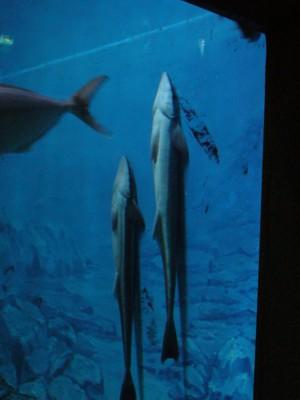 上向きコバンザメ