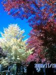 紅葉祭り会場、赤と黄色の色彩が綺麗…。