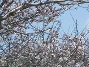 ハウスクリーニング・桜1
