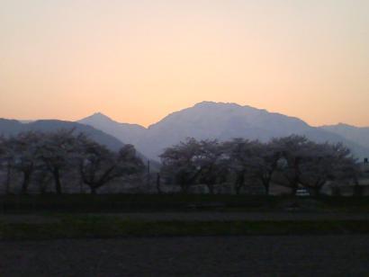 夕方の北アルプスと桜