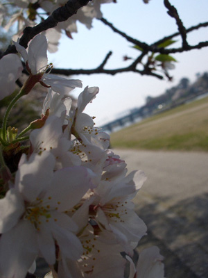 CIMG1391桜