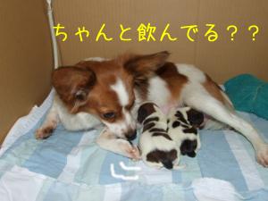 パピヨン親子3