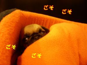 パグ子犬 ベッドの奥