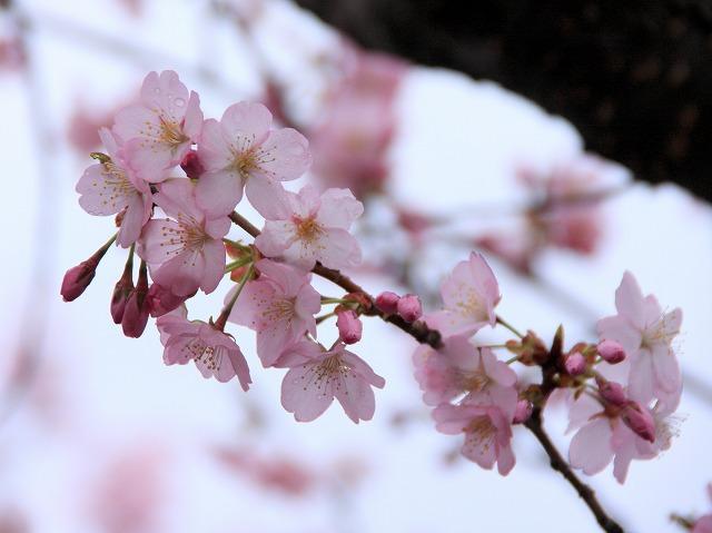 桜 宮園公園 弘前市 スナップ