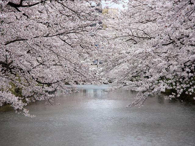 桜 弘前公園 弘前市 スナップ