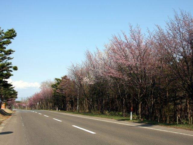 百沢 オオヤマ桜 ネックレスロード 岩木山 リ 桜林