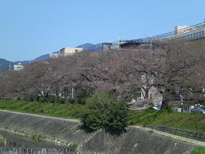 まだ早い桜