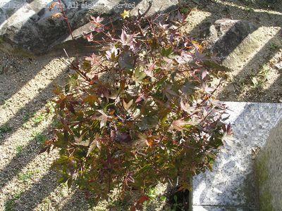 小さな木も紅葉しました