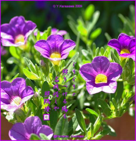 090831ミリオンベル紫