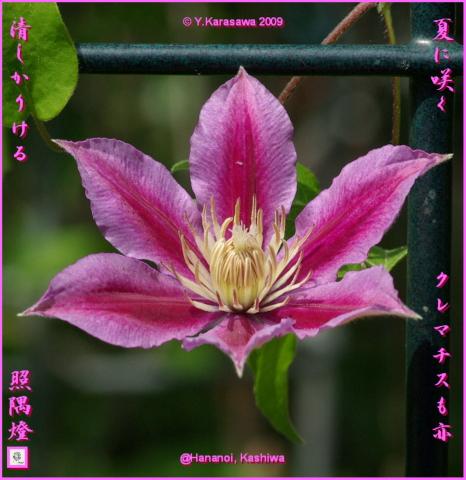 090912クレマチス赤紫