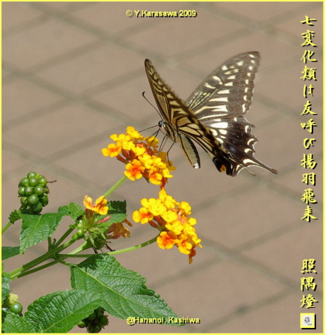 090920七変化に揚羽蝶