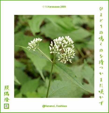 090923ヒヨドリ花