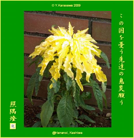 090927葉鶏頭黄