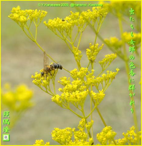 091003女郎花と金毛腹長土蜂