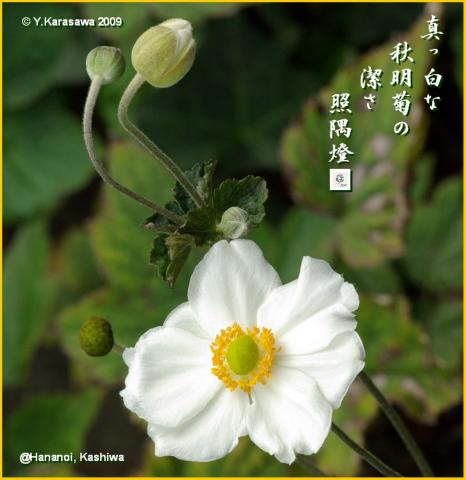 091010秋明菊