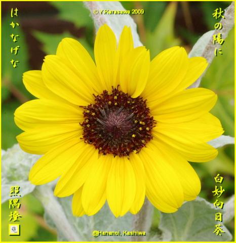 091017白妙向日葵