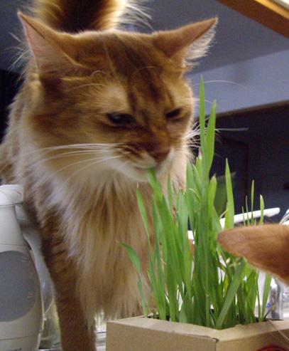 猫草まつり02