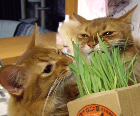 猫草まつり01