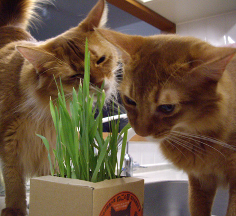 猫草まつり00