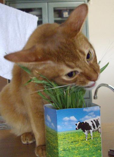 猫草まつり04