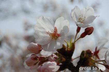 4-7桜2