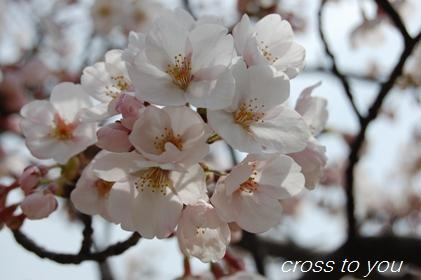 4-11桜