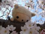 桜の木から下りるところ