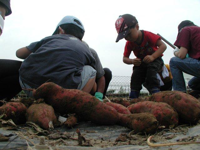 2008サツマイモ堀1