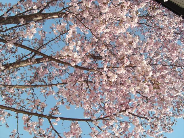 桜1.jpg