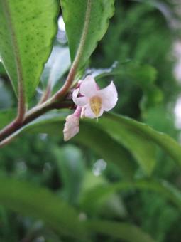 センリョウのお花