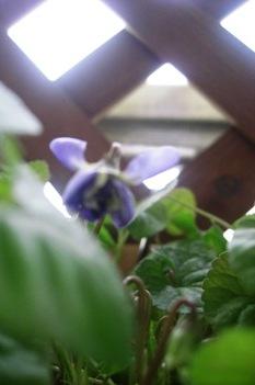 ニオイスミレ開花