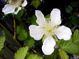 rasberry blossoms