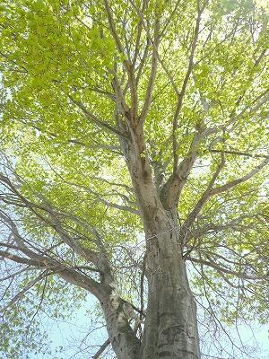 090419大きな木の下で