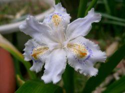 250px-Iris_japonica1_flower.jpg